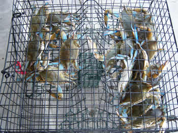 how to kill blue crab humanely